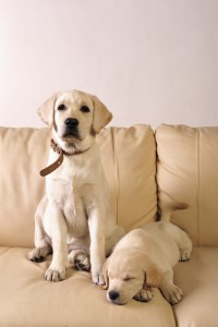 shutterstock_74496568- dogs on couch